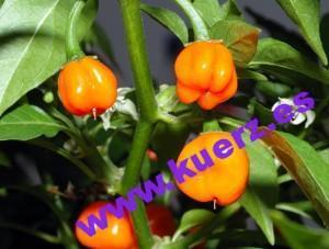 Habanero-Früchte (Capsicum chinense)