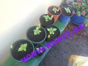 Die Pflanzen sind in größere Töpfe umgezogen...Durchmesser ca. 15-20cm